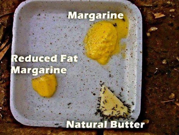 Which is healthier ? Butter vs Margarine - Ants have their vote.