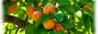 Organic Apricots - the unsung hero